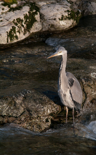 heron in river_