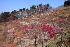 宝登山 梅百花園