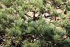 Photo:Japanese White Pine / Pinus parviflora / 五葉松(ゴヨウマツ) By TANAKA Juuyoh (田中十洋)