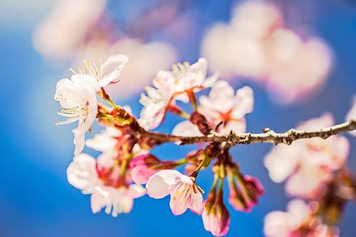 無料写真素材, 花・植物, 桜・サクラ