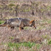 Small photo of Stalking Coyote