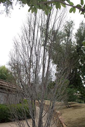 Tree Skinny