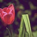 Single Tulip (134/365