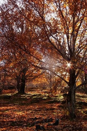 DSCF9877 (Sol a traves de castaños en otoño) by Luis Armando Encinas Ramirez (i_real_es)