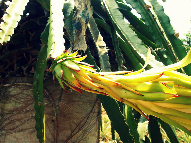 A dragonfruit plant at Penang Tropical Fruit Farm.