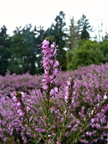 Field of Purple Heather