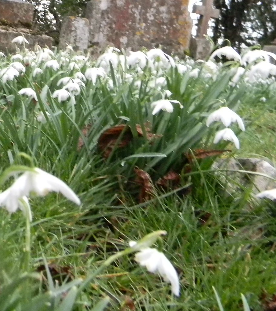 Snowdrops St Lawrence Churchyard. Saunderton Circular via West Wycombe