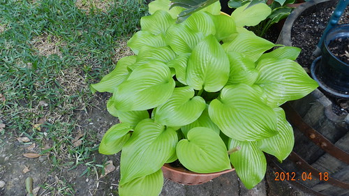 Hosta12Apr181-Fried Bananas