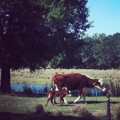 It's a beautiful morning in the FL countryside -luv the newborn calf! #homeschool #hsmommas