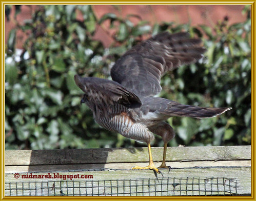Sparrowhawk Take Off