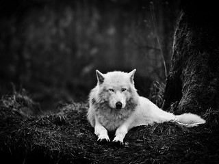 Gray Wolf, Washington by Mukul Soman