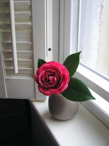 Camellia on the windowsill--first cut flower of the year.