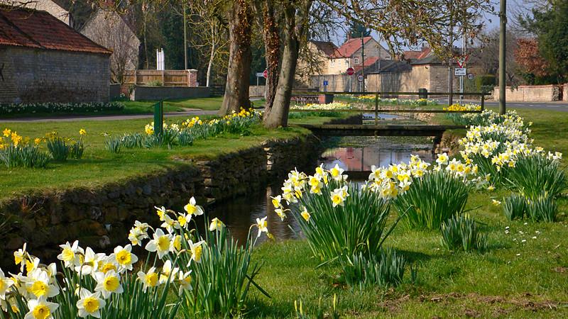 Peak Daffodil Season