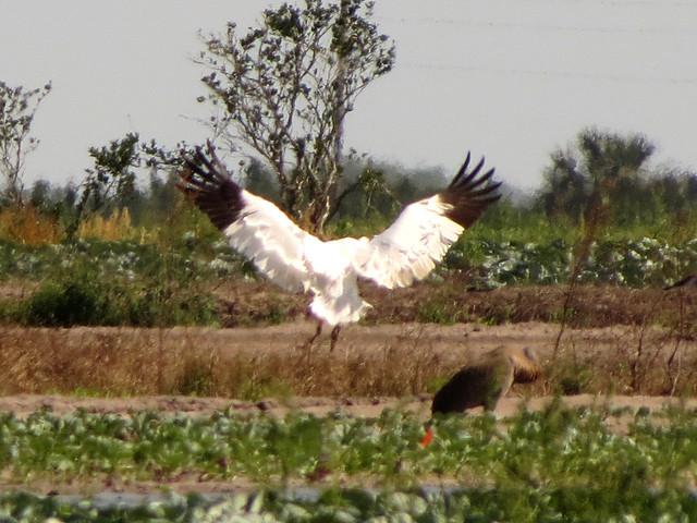 Flying Whooping Crane