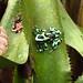 Poisonous dart frog. Jaguar Rescue Centre. Puerto Viejo, Costa Rica 25APR12