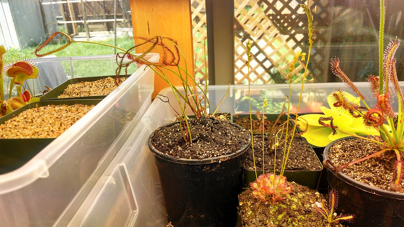 Drosera binata T-Form in the tray