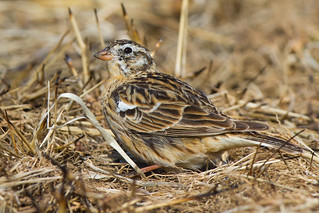 Smith's Longspur, April 12, 2014, The Burn