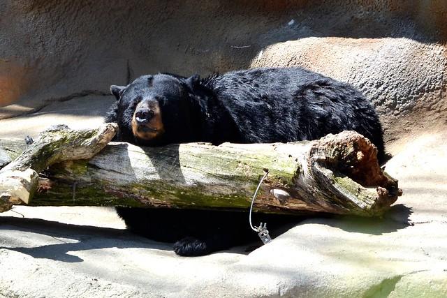 Snoozin Bear