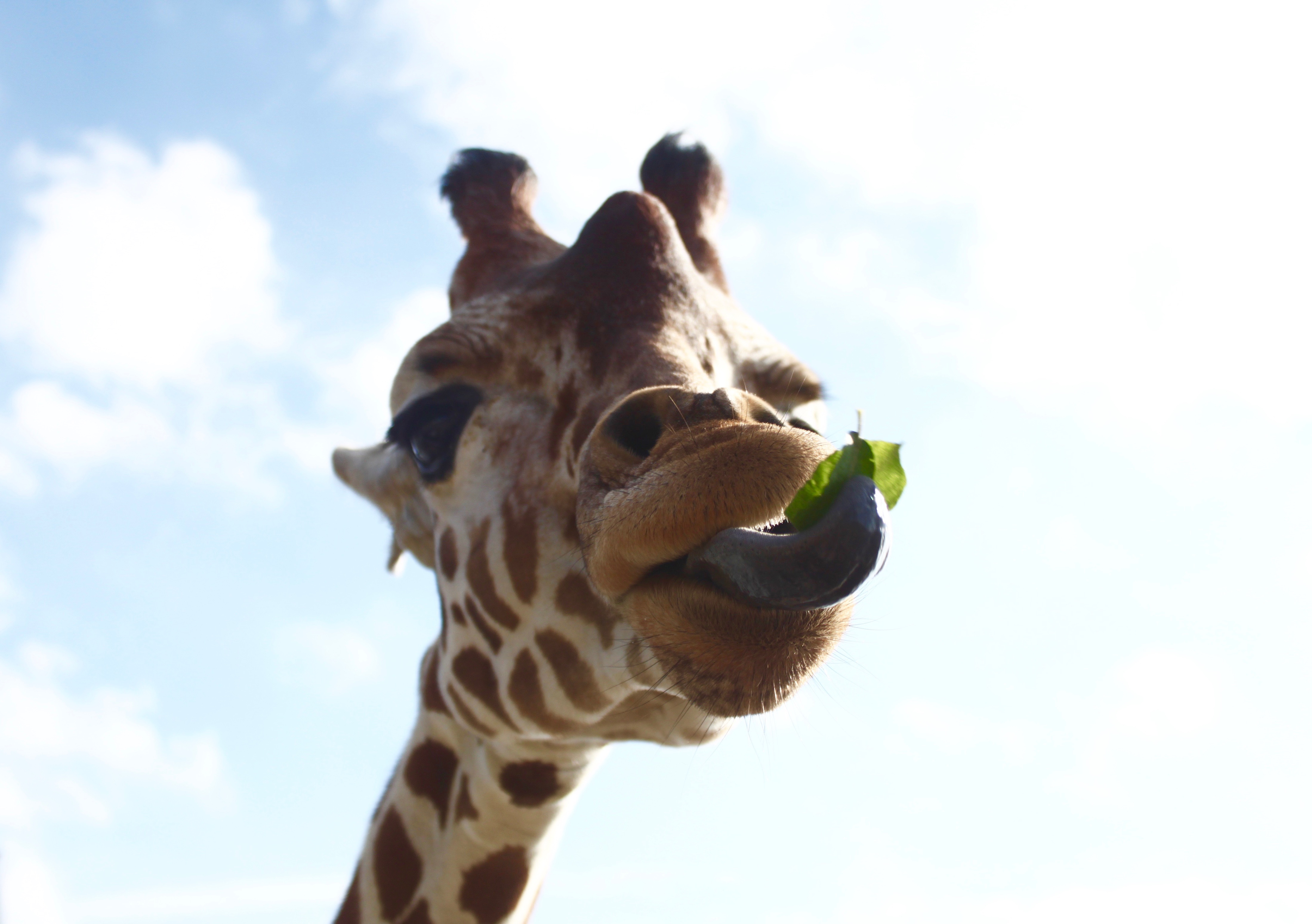 Nature photography challenge | Giraffe | www.hannahemilylane.com