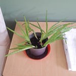 aloe vera in Cesy's House plants