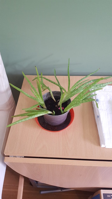 aloe vera planting in House plants by Cesy