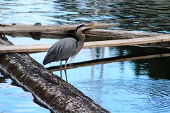 Blue Heron at the Locks