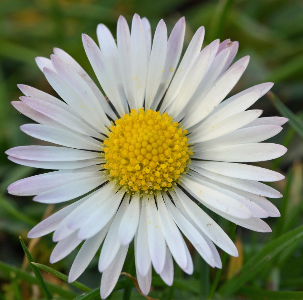 This was the February Daisy: