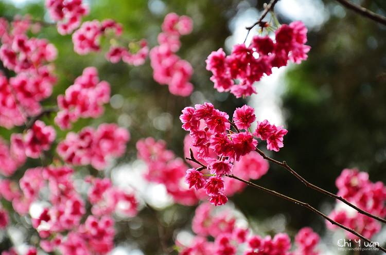 九族文化村櫻花祭-日11.jpg