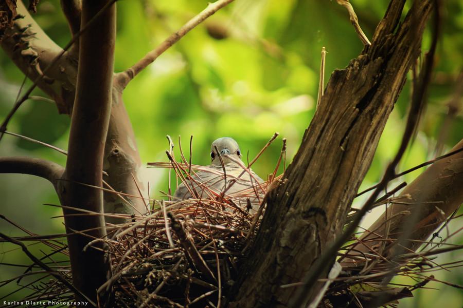 Yeruti / White-tipped Dove