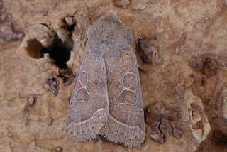 Common Quaker (Orthosia cerasi)