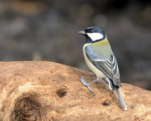 Great Tit by Longsider