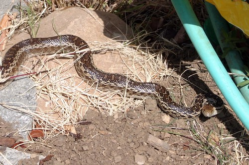 gopher snake up at the barn
