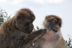 020. Barbary Apes. Top of Rock.  March 2012