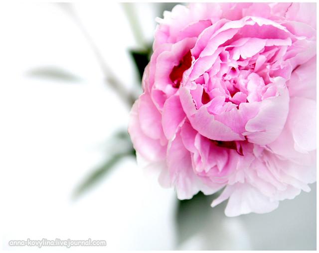 Цветы доставкой, купить пионы зимой