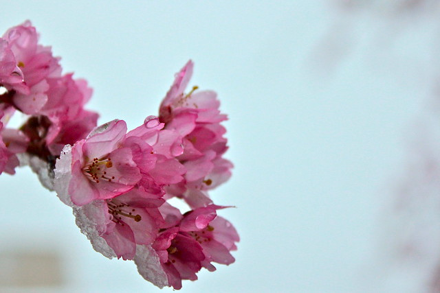 Cherry Blossoms with Snow 2