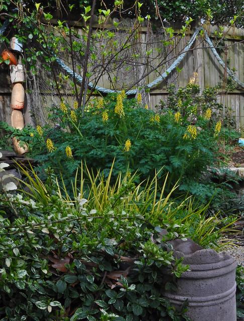 Corydalis heterocarpa