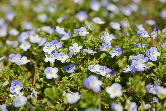 lots of speedwell