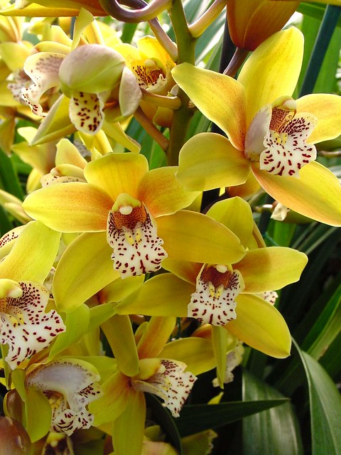 Cymbidium 'San Francisco'