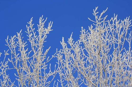 hoar frost poplar 11 02 12
