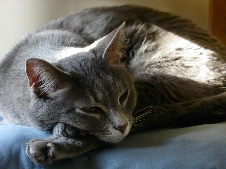 grey tabby sunbathe cat 1