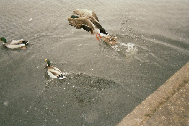 Budapest, city, streets, tour, trip, journey, Hungary,  snow, winter, spring, 35mm film photography,  Kodak MAX 400 expired,  birds, ducks, flying, hot water stream , park, nature