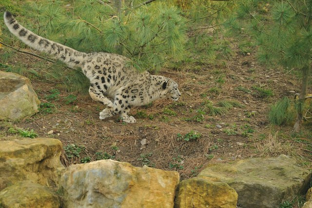 Snow Leopard Running | Flickr - Photo Sharing!