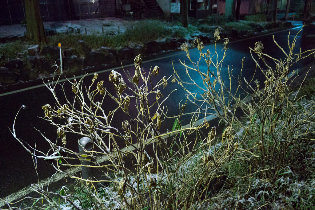 雪が積もったあじさい 2012/02/18 P1020634