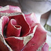 A rose my father picked up from a garbage heap on a cemetery in France many many years ago by VillaRhapsody