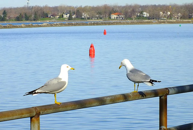 Arguing about buoy placement. (Ring Billed Gulls)