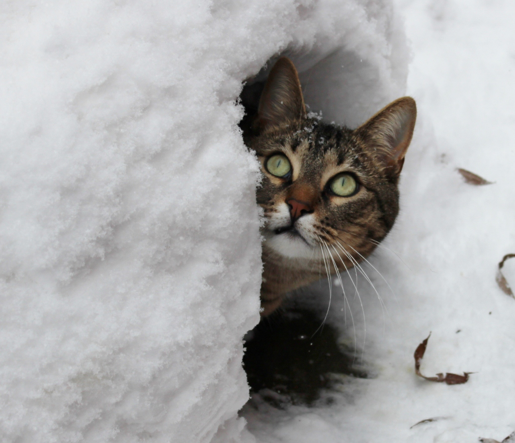Too much snow! This cat is using a snowbank as her outdoor shelter.