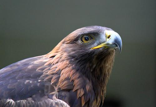 Hawk at Sulfur Creek