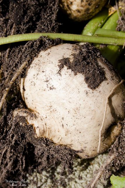 turnips5