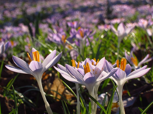 Crocuses in Cannizaro Park