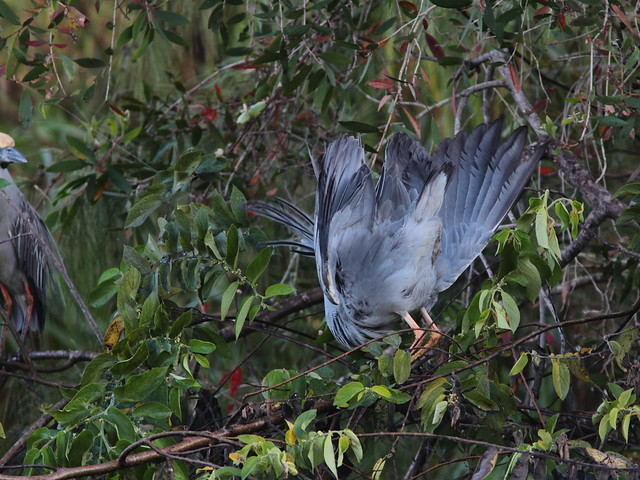 Yellow-crowned Night-Heron display 2-20120224